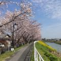 桜と菜の花のコントラストがきれいです。